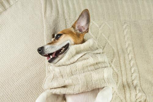 cane-con-maglione