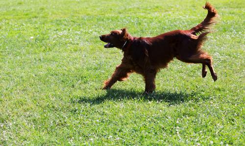 cane-corre