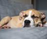 cane-dorme
