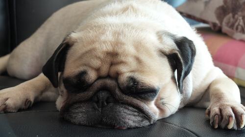 cane-dormendo