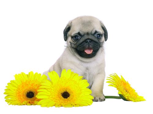 cane-e-fiori