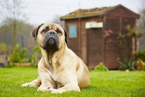 Cinque miti sui cani di taglia grande