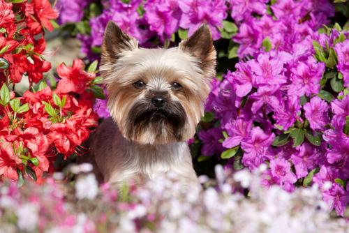 Pomodoro: perché è tossico per i cani?