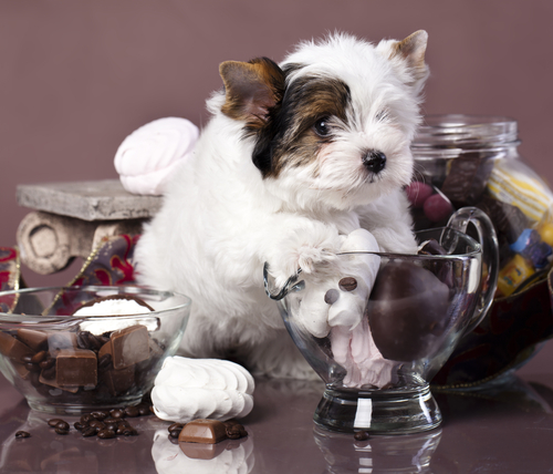 Ecco perché il cioccolato è nocivo per il cane