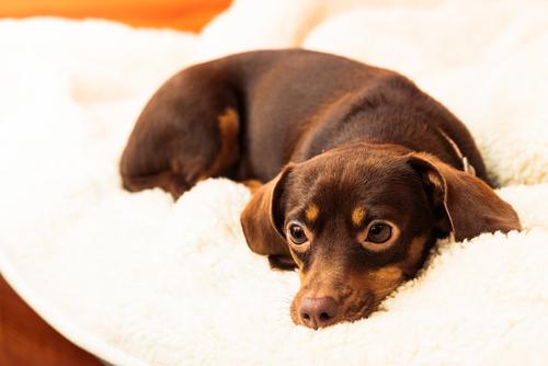 cane-nella-coperta
