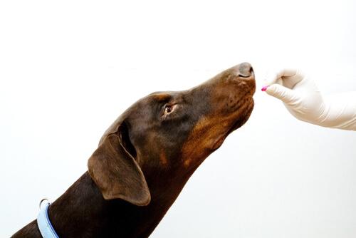 cane-pastiglia