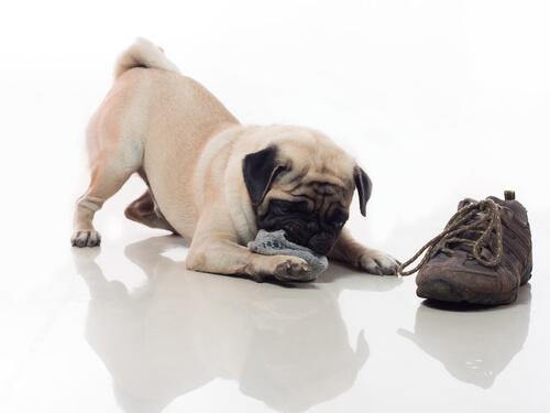 cane-scarpe