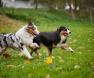 cani-che-corrono