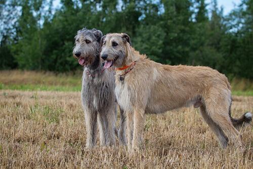 5 razze di cani con la barba