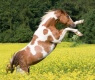 cavallo-pinto
