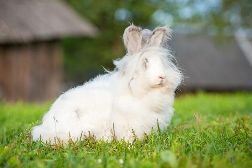 Conigli di Angora: un orrore nascosto