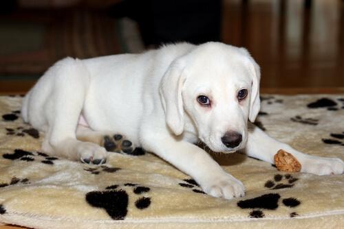 cucciolo-labrador-albino