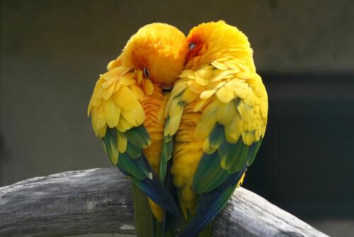 due-pappagalli