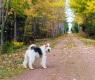 fox-terrier (1)