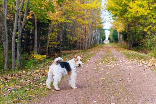Il Fox Terrier, cane allegro e intelligente