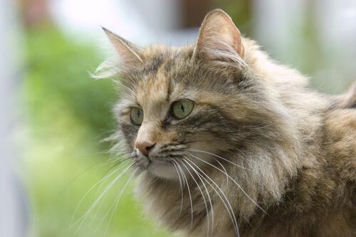 gatto norvegese 2