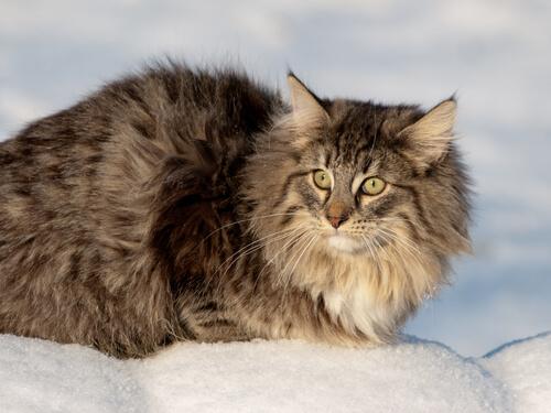 gatto norvegese 3