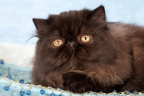 Caffrey, il gatto che cammina solo con due zampe