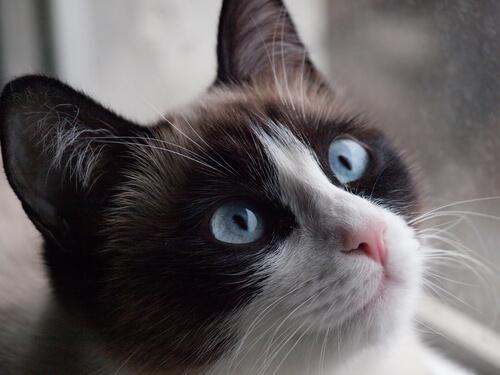 gatto siamese 2
