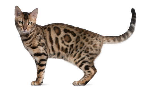 Linguaggio del corpo del gatto: come interpretarlo