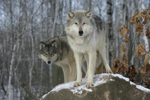 lupo-grigio