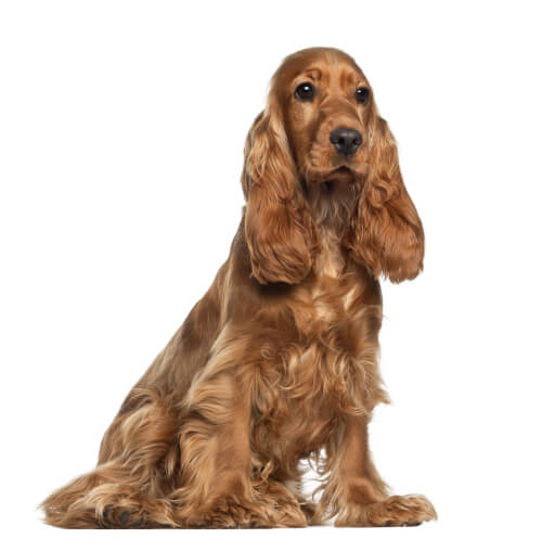 Come individuare per tempo l'otite canina