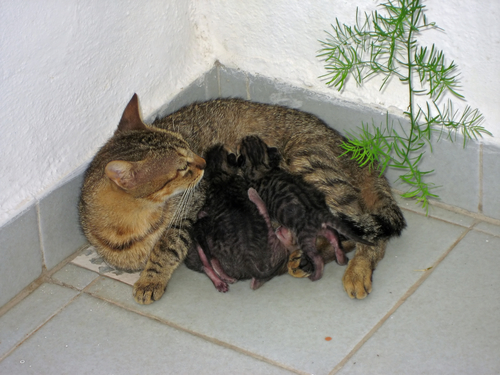 Conoscete le fasi della gravidanza della gatta?