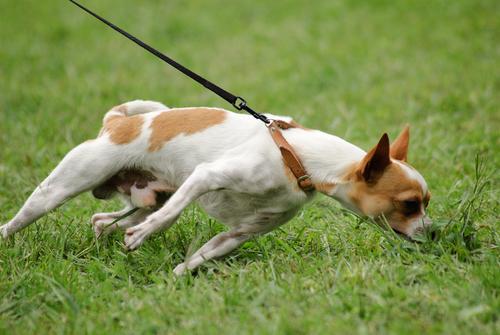 Come evitare che il cane tiri il guinzaglio