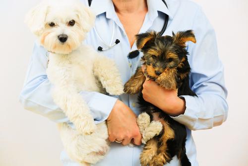 Torsione gastrica nei cani: una patologia grave