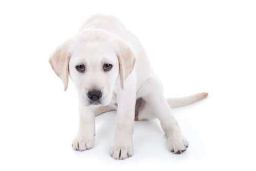 tremori-nei-cani-2