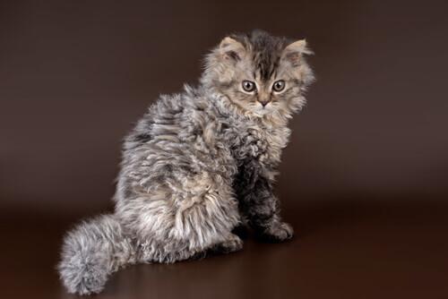 Selkirk Rex: il gatto pecora