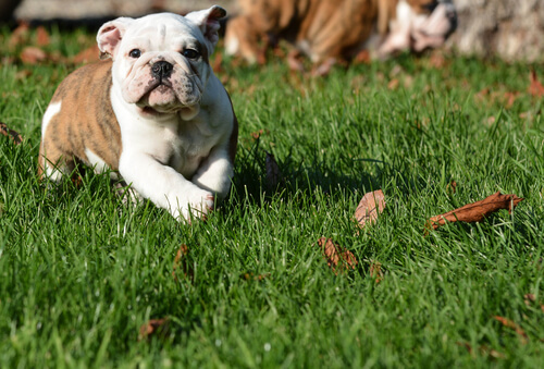 buldog sull'erba