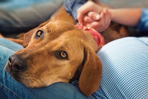 Gravidanza psicologica nei cani, scopri di più su questo argomento!