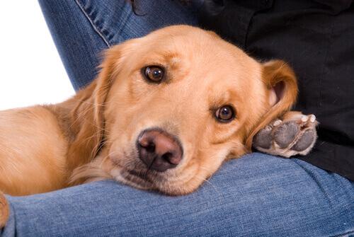 Perché i cani cercano costanti attenzioni?
