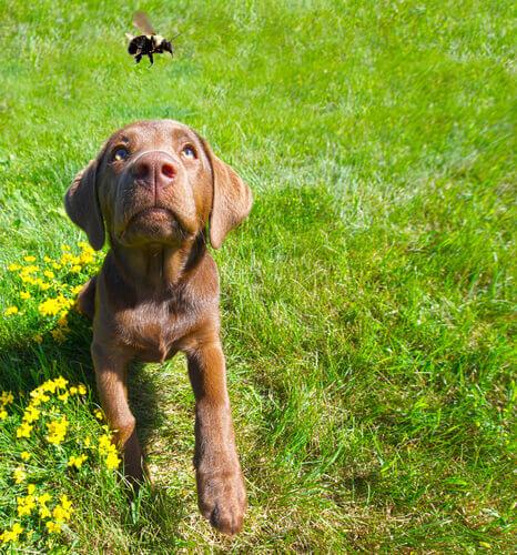 La puntura d'ape o di vespa nel cane: come comportarsi