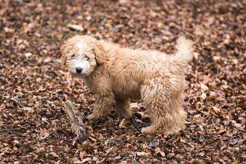 cane-bosco