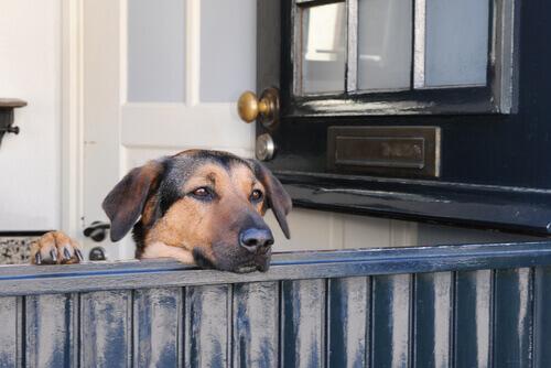 Cane che aspetta ritorno del padrone