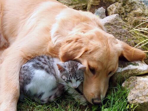 10 razze di cani che vanno d'accordo con i gatti
