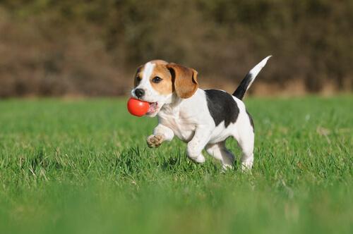 beagle con pallina in bocca