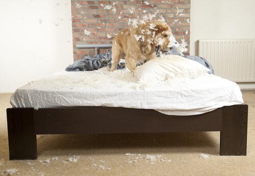 cane-mordendo-cuscino