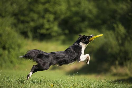 cane saltando