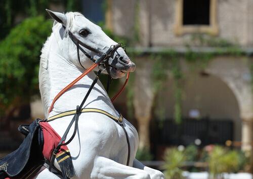 cavallo-andaluso-2
