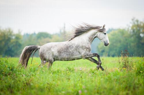 cavallo-andaluso-3