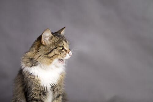 Perché i gatti restano con la bocca aperta?