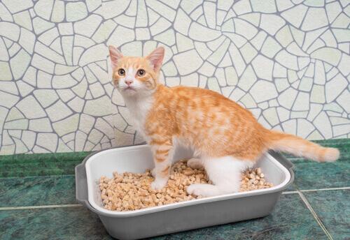 gatto bianco e arancione nella lettiera