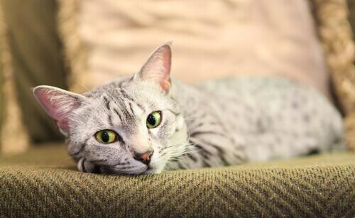 Gatto mau egiziano sdraiato