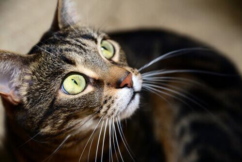 gatto mau egiziano2