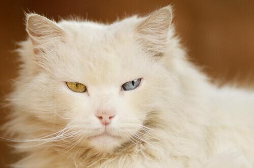 gatto occhi bicolore