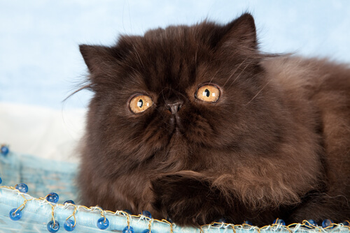 gatto-persiano-nero