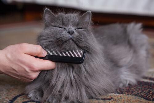 gatto grigio pettinato